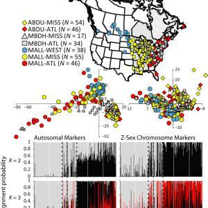 マガモとアメリカガモの雑種同定とゲノミクス 序論