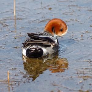 水鳥の羽繕いは鳥インフル感染を助長?