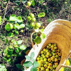 森で採れたカニリンゴでシロップを作る