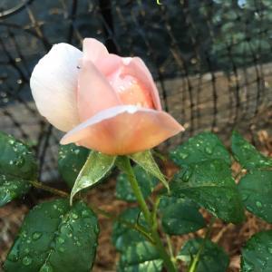 薔薇が咲き始めてワクワク&蛙の思惑