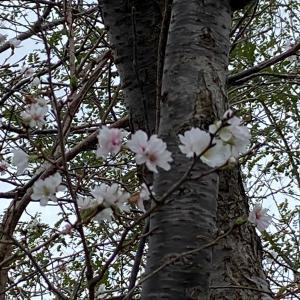 秋桜 と アオサギ