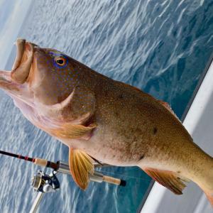 スジアラ釣りのおすすめタックルとルアー、ボートはこしきマリンで!