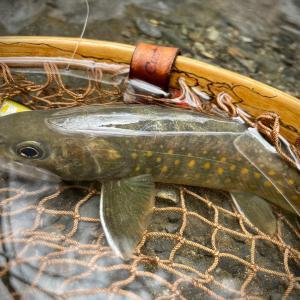 長野の源流にヤマトイワナを釣りに。