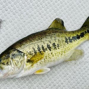 5月中旬、ヌマチチブを放流してボートで芦ノ湖を釣る