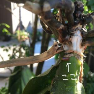 空中栽培の胡蝶蘭の芽がついに出た!