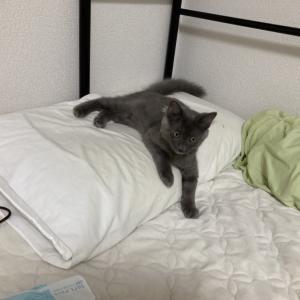 [ねこ]友人に爪とぎを見て欲しくてやる猫
