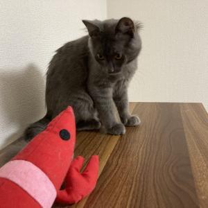 [ねこ]えびちゃんとお友達になりたい猫