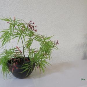 鉢 しだれ紅葉 Vase, and Weeping maple