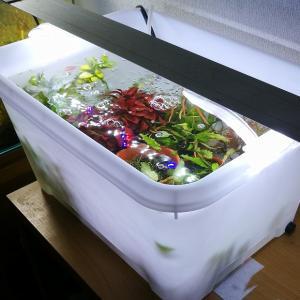 [水槽]リセットの為に300円の予備タンクに水草と熱帯魚を移動しました