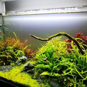 [水槽]60cmメイン水槽に植えてある水草について