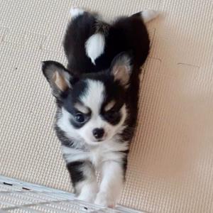 ♡交配に来てくれたララちゃんの仔犬ちゃんは、とても可愛らしくて楽しみのお裾分けをいただいてます♡