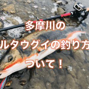 桜舞う春の多摩川でマルタウグイを釣る!攻略タックルと毎年の実績ポイント、オススメルアーと釣り方を徹底解説!