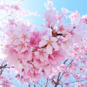 【それでも春はやってくる】 ~コロナ渦の春、近所の桜を眺めながら、いつもの道を歩く~ 《ひとことつぶやき~日本よりのちょっとした日常》(#新型コロナウィルス #お花見自粛 #ソメイヨシノと河津桜)