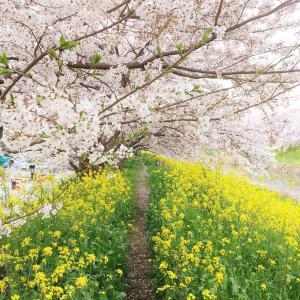 【なんだかんだいって近所の桜がいちばんいい】 ~海外の友人を、どこかひとつだけ連れていくのなら、この、家から歩いて1分の名もなき桜並木に行くかも~ (#埼玉県久喜市 #青毛堀の桜並木 #吉羽公園 #お山の公園)