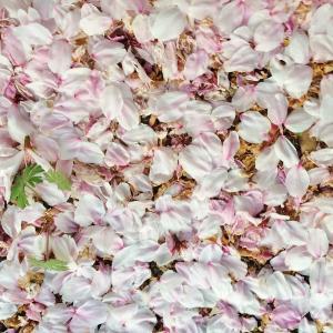 【桜吹雪 a shower of cherry blossoms like snowflakes... 】 ~ひとことつぶやき~ 日本より。。 (#桜吹雪を英語にすると? #埼玉県久喜市 #青毛堀の桜並木 #確定申告が終わらない)