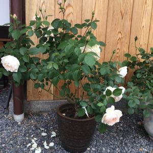 白花のイングリッシュローズでオススメのもの