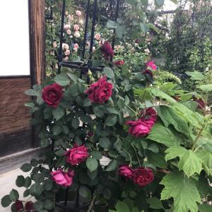 晴天なので赤バラを切る
