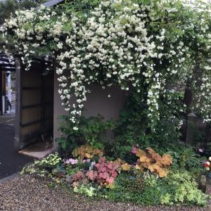 雨の日もキレイな色味が似ている複色系のバラ