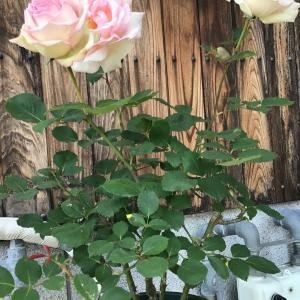 一輪づつ咲いてるバラにブツブツ感想を言う