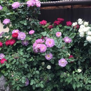 咲き始めた赤バラ4つの比較