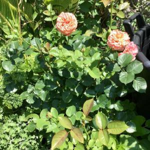 河本ローズ初心者の私が育てるフリフリと他の日本人のバラ