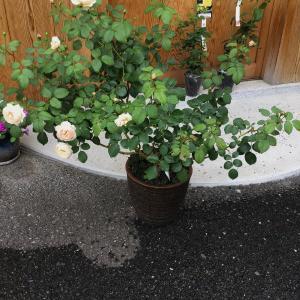 雨の日の嬉しい来客(虫)とバラや紫陽花