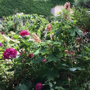 ピンクの柏葉アジサイと美しく咲いた雨上がりのバラの2番花