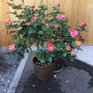 2番花が咲きだして思う売れる花型と古い花型の事やらナンやら