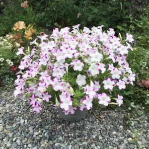 サフィニアの切り戻しとバラの2番花