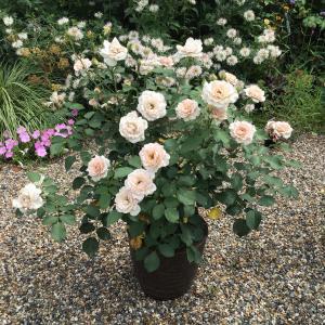 薄い色のバラの2番花で割と綺麗に咲いたもの