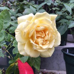 写真撮りに行くだけで凄く濡れた日のバラ