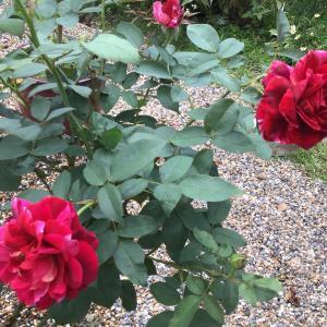 ミッソーニの2番花やエキナセア