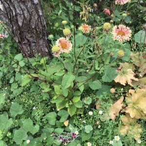 今日は 薄い色のバラで夏花のオススメのもの