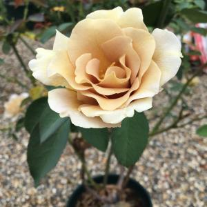 今日のバラは河本ローズの春と夏