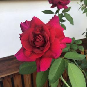 今 一番香っているバラ