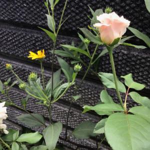 枯れそうなバラととりとめもないハナシ