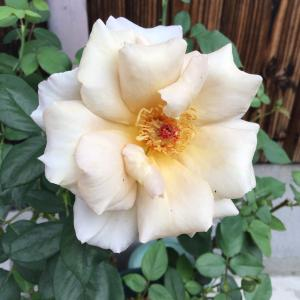呻きとボヤキの違いと綺麗なバラ