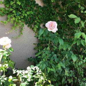 ピンクの旋律と白のそどおり姫