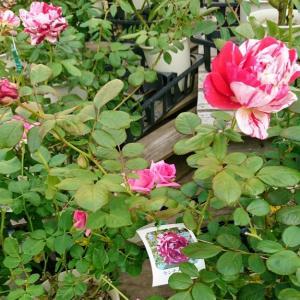 あいあいパークのバラと確実園買い付け情報