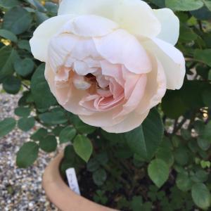 鉢バラの樹形の面から育てにくいバラと育てやすいバラ