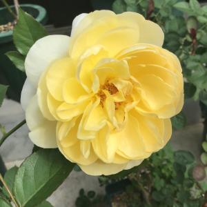 リュシオール2日目と他の黄色のバラ