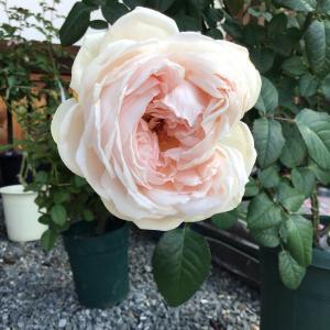 ザーッと目に付くバラを撮って最後に今季ウォンカの完成形