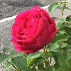 寄せ植えを少しづつ冬仕様に変えて行く&赤いバラの咲き具合