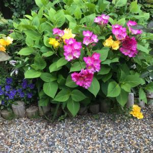 フリージアが咲いて10日後に咲く早咲きのバラ
