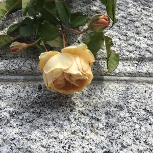 今まだ綺麗に咲いているバラと咲きかけのバラ