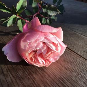 愛おしすぎる冬バラがちゃんと咲きました