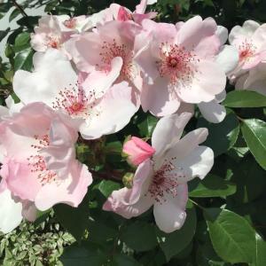 去年とほぼ同じ感じに剪定した地植えのバラの写真