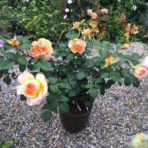 去年の秋とは全く違った色で咲いてビックリのバラ