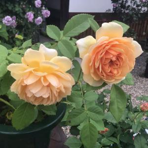 勇気と元気をもらえるバラが暴風雨の後咲いた!