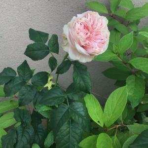 京阪園芸で狙っていたバラを買ったよ